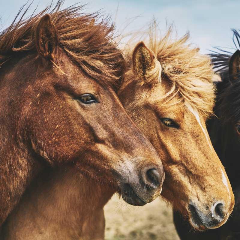 fuetterung-islaender-pferd-fuetterung-islandpferd-futterberatering-pferd-fuetterungsberatung-pferd